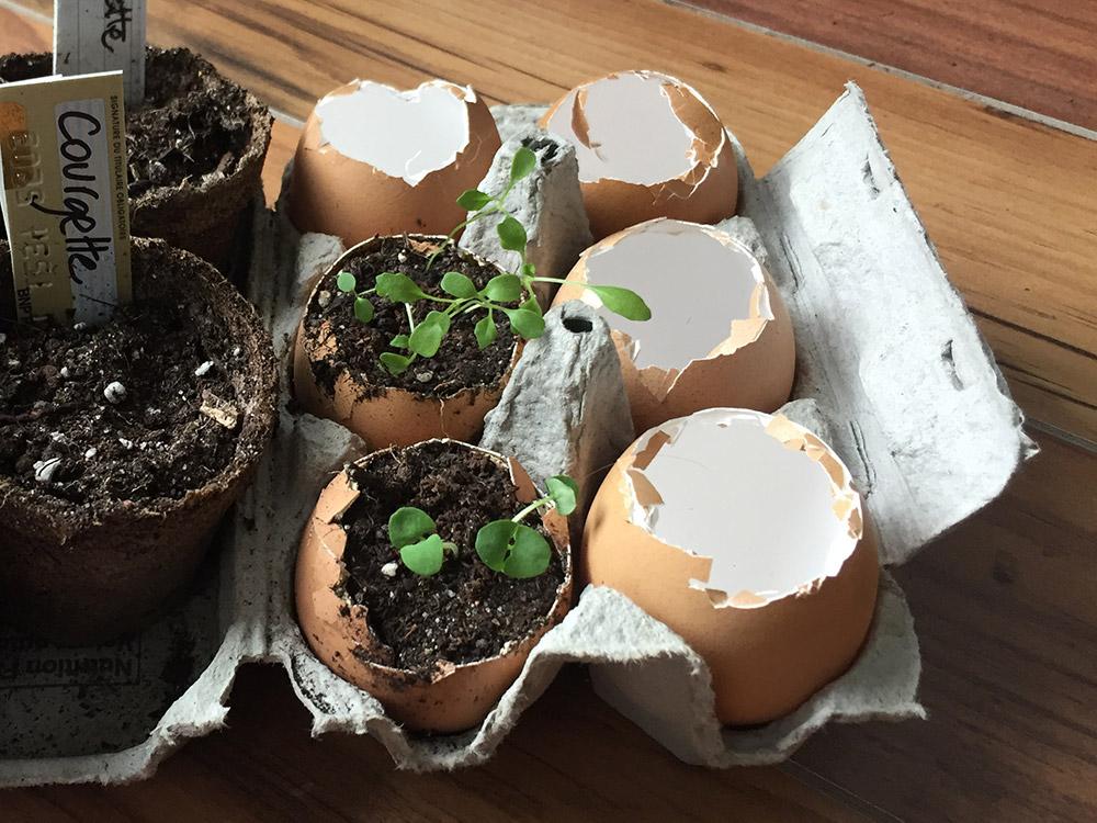 Semis dans coquille d'oeufs